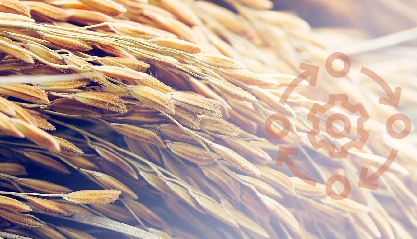 Champ de blé bio | Bébé M